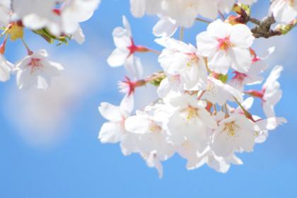 今年も咲きました!自由が丘の桜